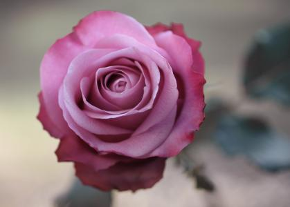 宏,粉红色,玫瑰,照片,花卉