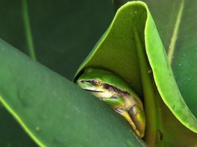 青蛙,叶子,绿色,美丽,睡眠