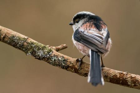 鸟,长尾的山雀,分支