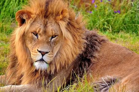 谎言,鬃毛,脸,看起来,狮子座