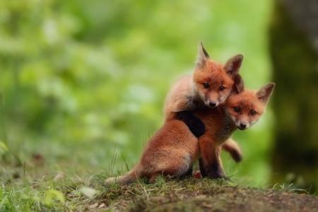 看,狐狸,玩,福克斯,两兄弟
