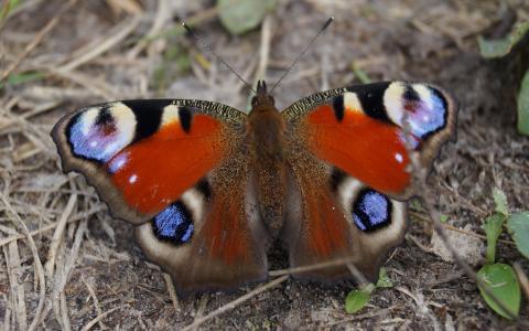 蝴蝶,性质,美丽
