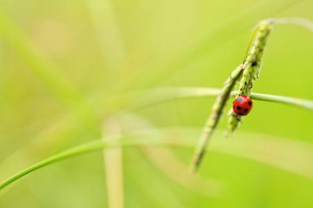 瓢虫,小穗,背景,美容
