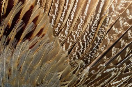 动物的纹理,纹理,异国情调的鸟的羽毛