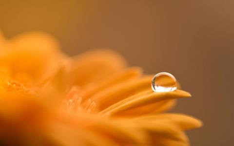 非洲菊,宏,花,滴,露水,橙色