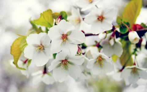 春天,开花,分支,树,苹果树