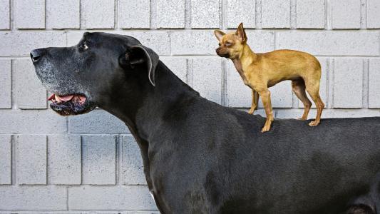 狗,奇瓦瓦,德国獒,朋友