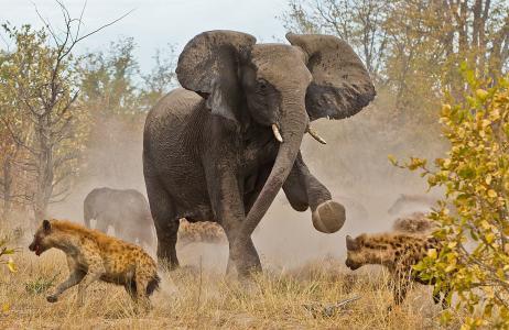 博茨瓦纳,大象,鬣狗,非洲,分散
