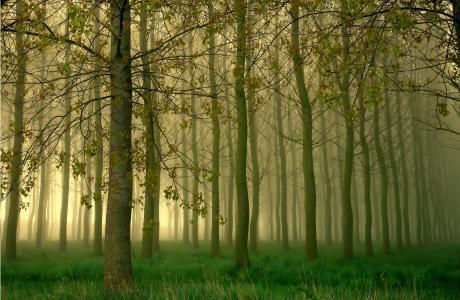 树林,树木,森林,雾