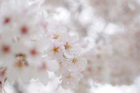 开花,雪白,鲜花,樱花,花瓣,白色
