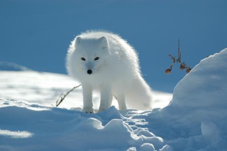 壁纸,大自然,北极狐,苔原