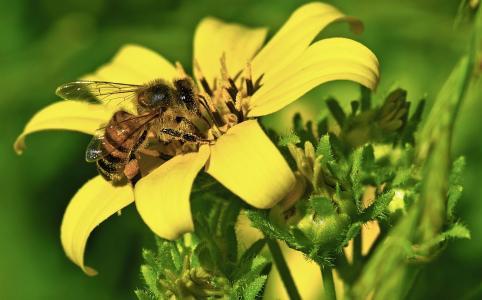 蜜蜂,花,鲜花,美女,花瓣,鲜花世界