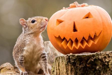 动物,啮齿类动物,松鼠,树桩,南瓜,秋天