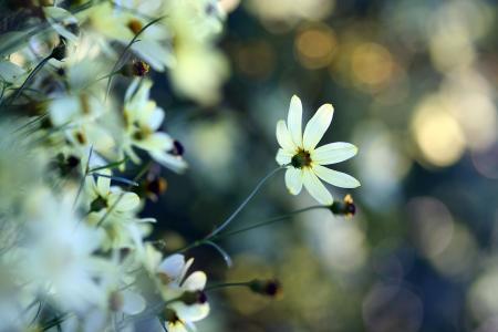 花,白,植物,眩光,柔情,宏观