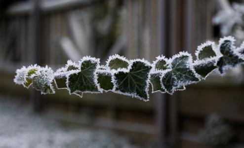 分支,叶子,白霜,霜,散景