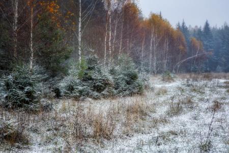 森林,桦木,冷杉,第一场雪,evgeni erokhin