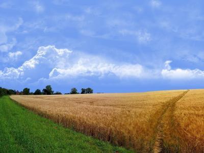 小麦,夏天,云,草