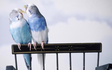 鹦鹉,波浪鹦鹉,鸟类,鸟类,鸟类