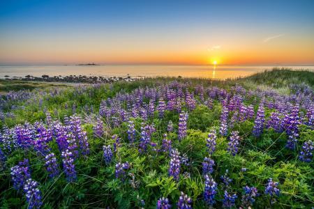 羽扇豆,鲜花,海岸,海,日落