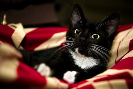 小猫,甜,小猫,红色,白色,猫,黑色,爪子,毯子,宠物,红色,动物