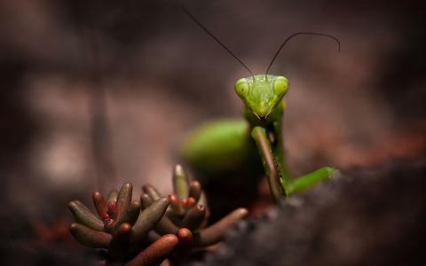 植物,绿色,昆虫,宏,螳螂