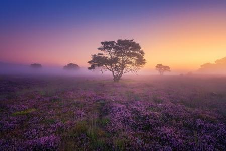 自然,早晨,黎明,雾,石南花