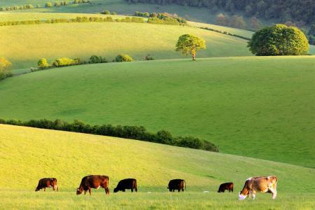 自然,牛,森林,原野,村庄,天空,草,牧群