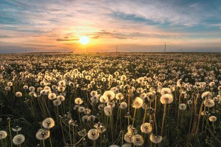 蒲公英,领域,天空,地平线,早晨,米哈伊尔Turkeev