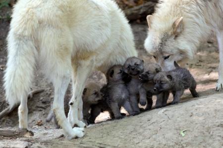 孩子,狼崽,狼,家庭,狼,后代