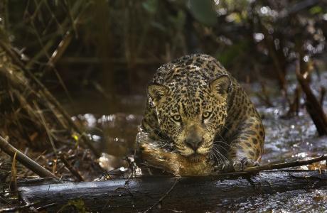 美洲虎,捷豹,捕食者