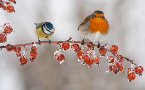 世界鸟类,山雀,马林诺夫卡,树枝,冬天,白霜