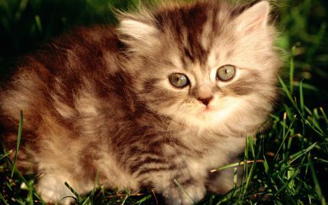 条纹,灰色的小猫,蓬松