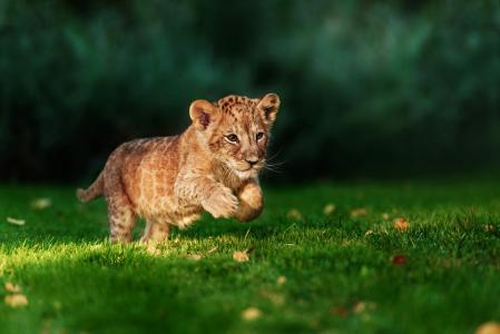 狮子,狮子,捕食者,猎人