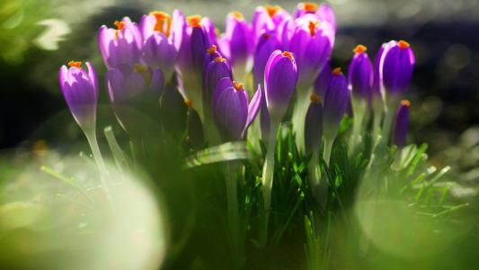 鲜花,番红花,宏观照片的主题