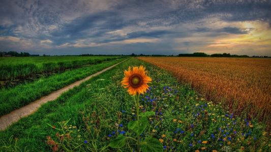 性质,荷兰,场,运河,向日葵,鲜花,小麦,天空,日落