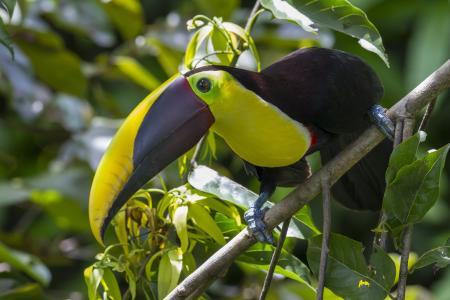 巨嘴鸟,鸟,森林,分支机构,叶子,喙