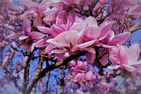 性质,春天,树,分支机构,鲜花,盛开,玉兰