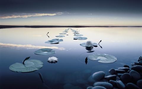 睡莲,花,河,石头,水