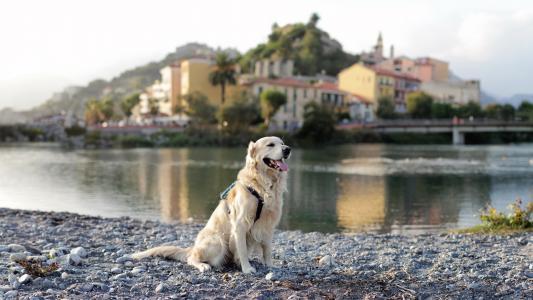 狗,猎犬,城市,河流