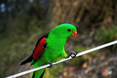 鸟,鹦鹉,绿色,背景,模糊。