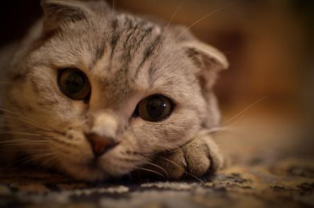 眼睛,眼睛,猫,胡子,躺在脚上,猫,动物