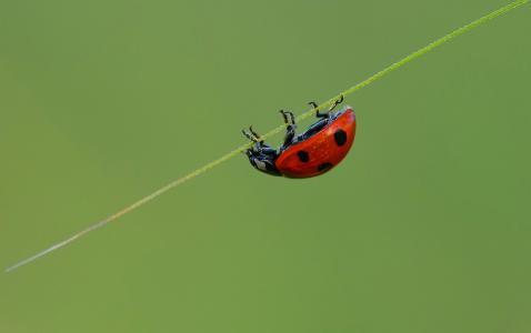 瓢虫,宏,背景,美,草叶