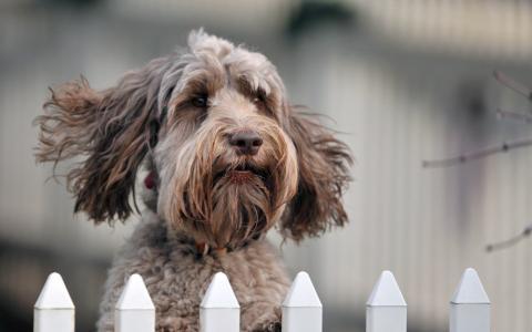 狗,脸,眼睛,鼻子,耳朵,背景,围栏,美容