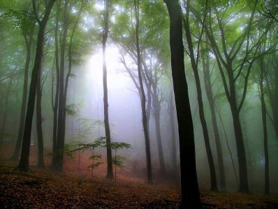 茂密,森林,树木,雾,美景