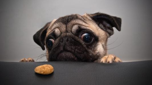 饼干,狗,哈巴狗