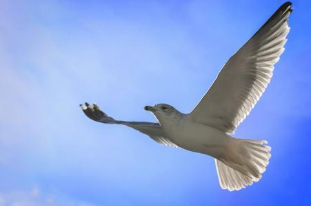 海鸥,天空,飞行
