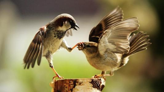麻雀,鸟,这是斯巴达