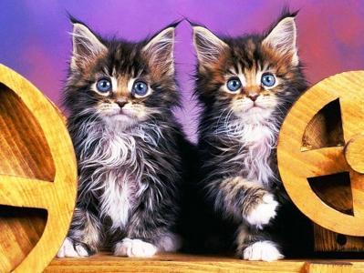 小猫,蓬松,蓝色的眼睛,好笑