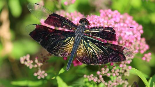 宏,性质,夏天,植物,蜻蜓