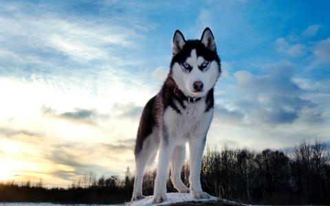 哈士奇,狗,照片,大自然,冬天,美丽